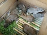 农村散养兔子