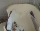 10个月小公种公加菲猫cfa血统