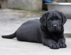 拉布拉多幼犬多少钱.专业繁殖基地 品质有保障