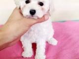 桂林哪里卖灰色泰迪 桂林哪里卖白色泰迪 桂林哪里卖红色泰迪犬