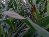 登海605裕丰303高产玉米种子介绍