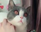 猫咪配种英短蓝白找女朋友借配