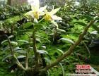 铁皮石斛盆栽(宁国市)