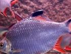 双线侧鱼出售无锡观赏鱼