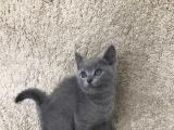 自家生的英短蓝猫宝宝找新家