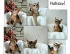 出售纯血统阿比西尼亚幼猫公母都有