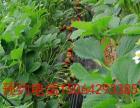 胶州洋河【红宝石草莓园】采摘季 牛奶草莓