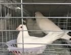 白羽王肉鸽养殖招加盟、代理,常年大量回收,签订合同