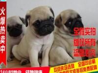 买纯种八哥犬,精鼻筋,圆头,黑脸,粗骨量,带健康证