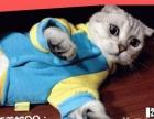 罕见纯白折耳小猫妞妞寻找个温馨的家