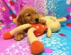 高端养殖直销-金毛巡回犬 家庭犬 惹人喜爱