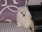 南宁犬舍 出售纯种球形博美犬/博美幼犬/小型犬博美/宠物狗狗