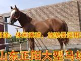 哪里有卖骑乘马的,骑乘马价格多少钱一匹