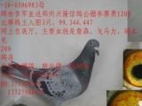 长期出售公棚鸽,特比鸽,本人广东潮州,店在潮州欢迎批发
