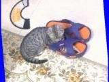 自家养一只折耳猫求收留