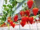 安宁草莓采摘园