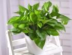 青岛地区植物租赁 植物盆栽出租电话