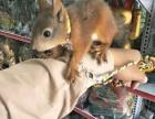 出售各类松鼠,低于市价