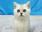 《英短》银渐层 纯种英短蓝猫 纯种幼猫英短蓝猫宠物
