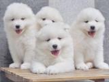 鄭州出售 精品薩摩耶幼犬狗狗出售 包純種 包健康