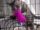 虎斑猫,送笼子,猫砂,粮食