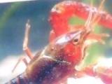 供应龙虾.龙虾苗。龙虾种