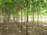 永州20公分法桐树种植基地在