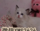 高端精品 布偶猫咪幼 CFA高品质种猫繁殖