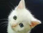 领养纯种金吉拉英短美短黑猫白银渐层鸳鸯眼异瞳狮子猫小猫咪