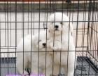 迷你小比熊犬出售,小狗狗雪白的,毛量很好