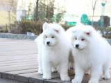 纯种萨摩耶犬 欢迎上门 送全狗用品 健康签协议