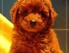 广州哪里有卖泰迪熊 实体狗场出售纯种泰迪包健康纯种售后