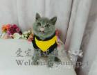 出售英短蓝白 蓝猫 正八五粉 俄罗斯蓝猫 包纯种健康