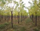 亳州30公分国槐树基地自产自销