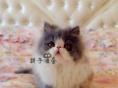 出售大眼可爱小加菲猫 健康活泼波斯猫 高贵优雅