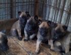 昆明警犬基地出售高品质小马犬