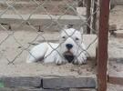 南宁哪里有杜高犬出售 杜高哪里的比较好 杜高最好的多少钱