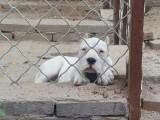 南宁哪里有杜高犬出售 杜高哪里的比较好 杜高好的多少钱