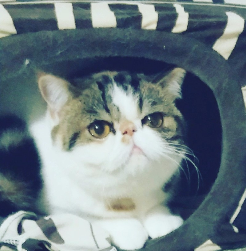 甜美水滴眼加菲种母猫
