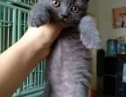 健康胖虎蓝猫,蓝白宝宝