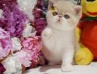 深圳正规猫舍深圳猫舍深圳加菲猫幼崽深圳加菲猫价格