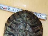 自己养的巴西龟已下蛋
