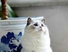 【钟爱宠物】布偶种公对外借配并有小布偶幼猫出售