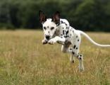 哪里有犬舍出售大麦町犬幼犬斑点多少钱一只