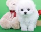 绵阳哪里出售比熊犬 绵阳比熊犬多少钱