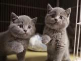 黃南緬因貓 性格溫順粘人體型貓 健康帥氣 多只可選