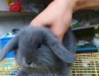 急转荷兰猪豚鼠兔子仓鼠刺猬松鼠,已打疫苗