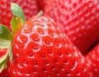 大家好,秦皇岛温室大棚草莓成熟时节已经到来.