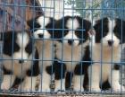 台州本地犬舍出售精品边境牧羊犬包纯包健康