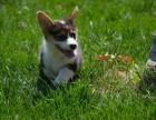 大连赛级双血统威尔士柯基犬幼犬 双色三色活体萌宠